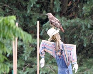 hawk scarecrow